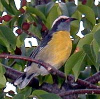 Picture of a bananaquit (Coereba flaveola), St. Thomas, U.S. Virgin Islands. (birds)