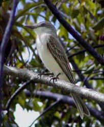 Picture of gray kingbird (Tyrannus dominicensis), St. Thomas, U.S. Virgin Islands. (birds)