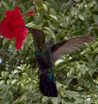 Picture of a green-throated carib (Sericotes holosericeus) visiting a hibiscus flower, St. Thomas, U.S. Virgin Islands. (birds)