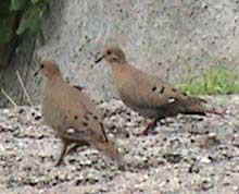 Picture of zenaida doves (Zenaida aurita), St. Thomas, U.S. Virgin Islands. (birds)
