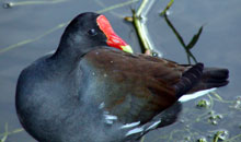 Picture of a common moorhen (Gallinula cerceris), St. Thomas, U.S. Virgin Islands.  (birds)